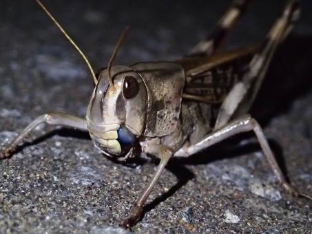 昆虫 むし 虫 ムシ トノサマバッタ 殿様 バッタ 褐色