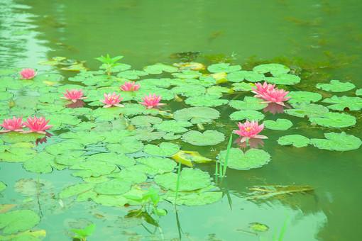 自然 植物 葉 葉っぱ 緑 睡蓮 スイレン ピンク色 桃色 浮く 抽水植物 池 水 沼 水面 映る 濁る 成長 育つ 多い 密集 集まる 沢山 重なる 反射 流れ 揺れる 水生多年草 ヒツジグサ 無人 屋外 室外 風景 景色