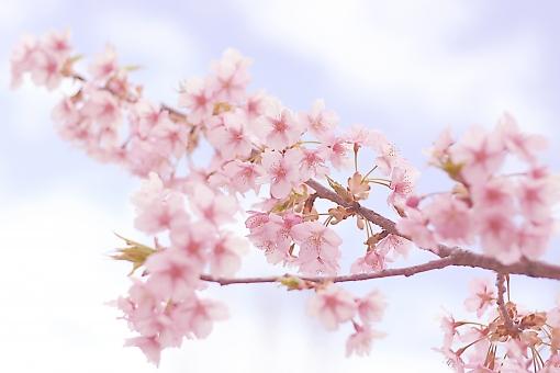 桜 さくら 花 植物 木 枝 花びら sakura 春 季節 開花 花見 お花見 入学 卒業 入学式 卒業式 新入生 ピンク 合格 和 和風 日本 japan 風景 景色 自然 桜前線 4月