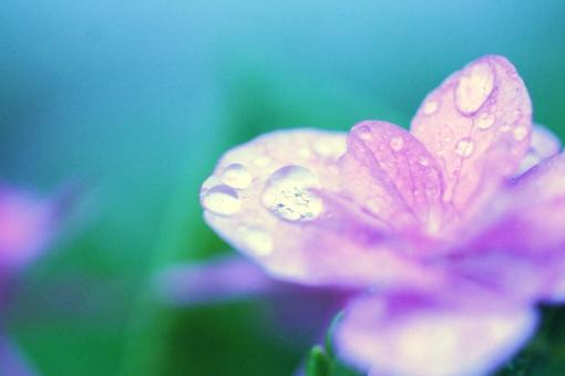 梅雨と紫陽花の写真