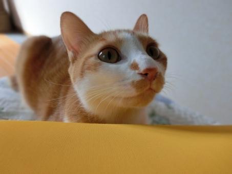 猫 ネコ 愛猫 白 茶 顔 とぼける ピンクの鼻 横顔 接写 三角耳 ヒゲ 白いひげ 目を開けた 見つめる 見上げる れん かわいい 動物 飼い猫 家猫 室内猫 ベッド クッション くつろぐ 座る 表情 可愛い 目をそらす リラックス