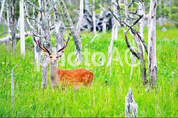春国岱の牡鹿の写真