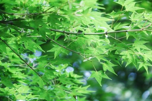 モミジ もみじ 椛 夏 夏のモミジ 夏のみみじ 夏の椛 葉 葉っぱ モミジの葉 もみじの葉 椛の葉 緑 緑色 グリーン green 模様 手の平 掌 若葉 若葉色 青い 若い 若々しい いきいき 生き生き イキイキ 薄緑 黄緑 黄緑色 風景 景色 景観 壁紙 テクスチャ 素材 爽やか 爽快 清々しい 気持ちいい 気持ち良い 涼しい 涼しさ 涼 涼感 夏らしい 涼やか leaf リーフ 重なり 葉の重なり 夏のもみじ カエデ 楓 若い葉 若い葉っぱ 葉の緑 緑の葉 緑色の葉 緑色の葉っぱ 優しい 癒し 枝 木 モミジの木 椛の木 もみじの木 植物