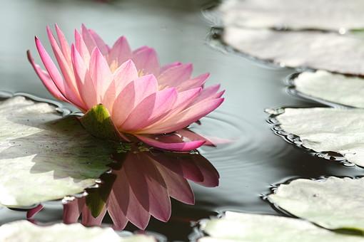 蓮 はす ハス インド ハス科 多年性 水生植物 植物 自然 蓮池 池 被子植物 蓮の葉 葉 葉っぱ 水面 浮かぶ 蓮の花 ロータス 花びら ピンク 屋外 外 映る 鏡