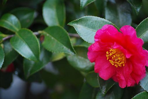 花 椿 ヤブツバキ 藪椿 ヤマツバキ 山椿 アップ 一輪 野生 自然 植物 屋外 緑色 葉 晴れ 赤色 花びら 和 上品 緑の葉 清楚 可憐 シベツバキ科 濃い 一重 原種 つばき