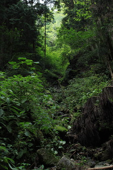 植物 樹 木 樹木 緑 自然 屋外 風景 景色 沢山 群生 葉っぱ 葉 茂る 生い茂る 生える 道 森 林 細い道 山道 シダ植物 みどり 山中 山道
