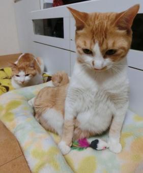 ねこ ネコ 猫 メタボ お腹ぽっこり よっこらしょ 立ち上がる デブ 肥満 ぽっちゃり だらける なまける やる気なし 怠ける ベッド ダイエット ネズミ おもちゃ 茶白 親子 家猫 飼い猫 室内猫 ペット 動物 起きる めんどう おっくう れん でぶ