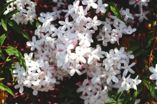 ジャスミン 白い花 香り 甘い香り 香水 アロマ jasmine 茉莉花 マツリカ ハーブ 小さな花 可愛い 花 ジャスミン茶 ハーブティー