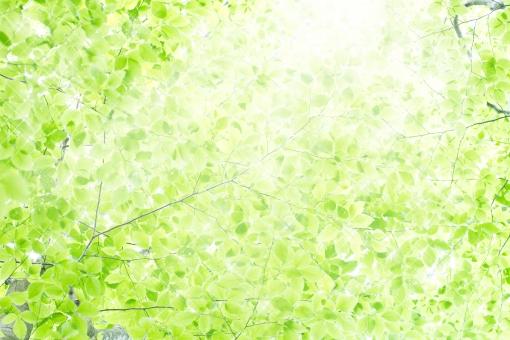 緑 グリーン 黄緑 新緑 明るい 林 山毛欅 ブナ林 山毛欅林 ぶなの木 樹木 自然 春 初夏 里山 癒し 葉 リラクゼーション 木 木の葉 木漏れ日 輝き マイナスイオン 背景 テクスチャー テクスチャ バックグラウンド 壁紙 抽象的 優しい 癒し 輝き 光 眩しい 逆光 レンズフレア パステルカラー ペールカラー イメージ キラキラ