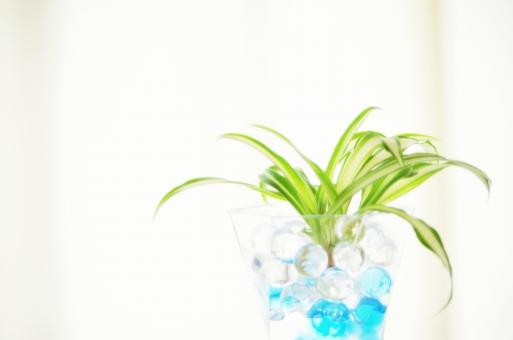 オリヅルラン 折鶴蘭 観葉植物 グリーン 緑 斑入り 窓辺 白 爽やか 葉 植物