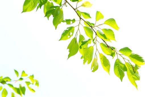 葉 緑 木 新緑 新芽 日本 木の葉 自然 植物 屋外 壁紙 背景 背景素材 バックグラウンド 光 青空 環境 エコ 木漏れ日 こもれび 枝 さわやか 爽やか 初夏 若葉 虫食い