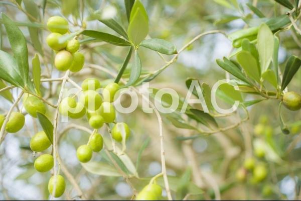 木になるオリーブの実2の写真