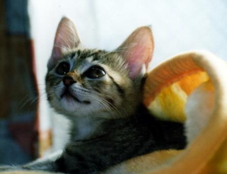 仔猫 子猫 猫 ねこ ネコ 愛猫 毛布 顔 癒し 表情 見上げる 目を開けた 見つめる 日差し 輝く 快適 くつろぐ リラックス 安心感 瞳 ほのぼの 家猫 飼い猫 室内猫 光 決意 可愛い 希望 ちゃこ 凛とした