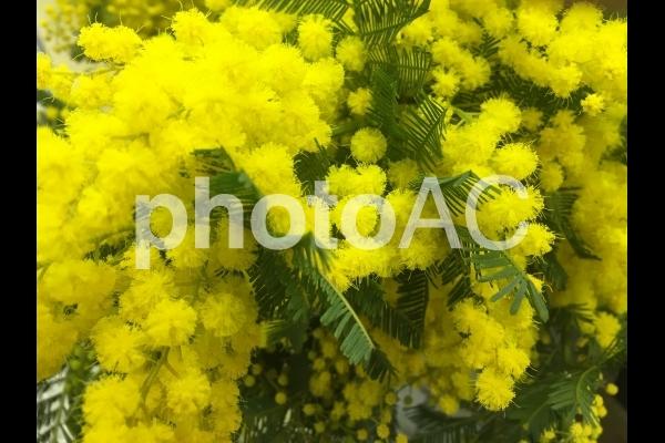 ミモザの花の写真