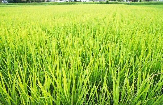田んぼ 背景 テクスチャ 田園風景 米 稲作 たんぼ 水田 緑 植物 穀物 白米 玄米 農業 農家 兼業農家 こめ みどり 生産 日本 風景 夏 初夏 刈り取り いね 稲