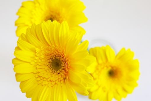 ガーベラ 黄色 花 アップ 美しい 明るい 白バック 自然 屋内 植物 花びら クローズアップ 一輪 一輪挿し
