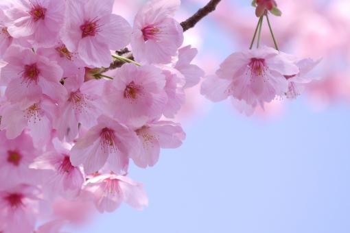 春の花 卒業式 お花見 ブルー 入学式 テクスチャ テクスチャー 樹木 木 テキストスペース コピースペース 植物 優しい やさしい ソフト 柔かい やわらかい 美容 四月 光 4月 白 花弁 花びら 爽やか さわやか 青 空 青空 水色 自然 美しい さくら サクラ ピンク 花 春 綺麗 可愛い かわいい 背景画像 桜 カード ハガキ バックグラウンド 余白 スペース バック バック素材 素材 背景素材 日本 壁紙 明るい アップ 背景 和風 和 年賀状素材 元旦 年賀ハガキ イメージ 1月 新春 新年 お正月 正月 年賀状 年賀 元旦素材 初春 迎春