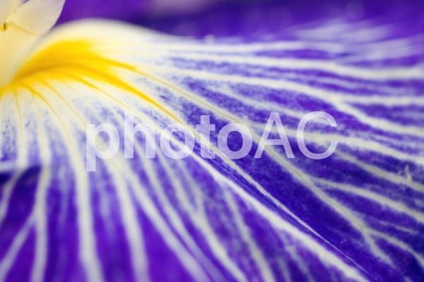 花菖蒲のアップの写真