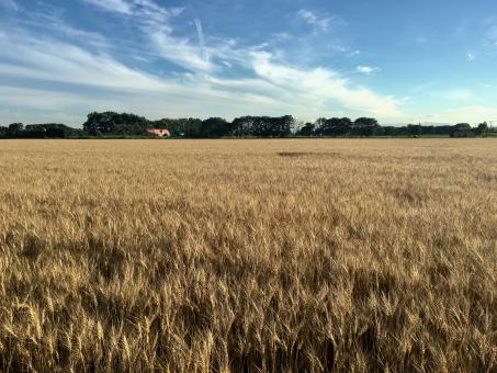 小麦畑の写真