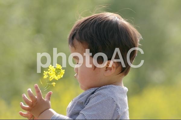 菜の花とこどもの写真