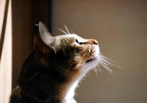 ネコ 猫 ねこ 愛猫 顔 耳 眼差し ヒゲ 光 日差し 見上げる 横顔 目を開けた 考え事 考え中 室内猫 飼い猫 家猫 顔を上げる 目指す アップ 表情 ほのぼの リラックス 希望 かわいい 輝く目 瞳 ちゃこ ペット