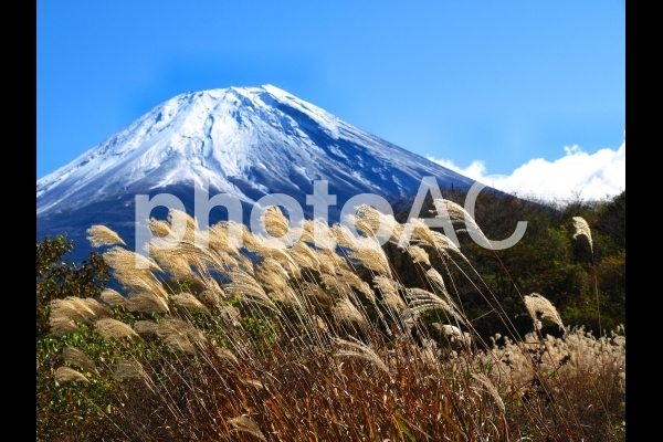 冠雪の富士山とススキ、秋の風景の写真