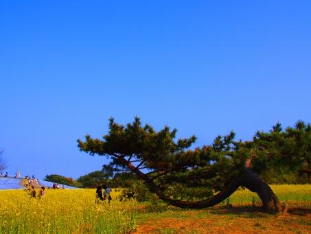 アジア 美しい 青 花 明るい 市 カーペット 雲 野原 開花 花びら 緑 幸せ 調和 丘 日立 ひたち海浜公園 海浜公園 茨城県 ランドマーク 光 たくさん 草原 自然 ネモフィラ 屋外 オレンジ 公園 ピンク 植物 赤 リフレッシュ 春 夏 季節 海辺 風景 海 空 日当たりの良い 旅行 観光 木 白い ビュー 黄色