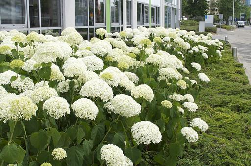 オランダ Holland アムステルダム 公園 住宅地 住宅街 ガーデン 庭 花 フラワー 白い花 満開 いっぱい 植物 花壇 花だん 咲き誇る 道路脇  癒し 綺麗 緑化 自然 広場 外国 花壇 植え込み