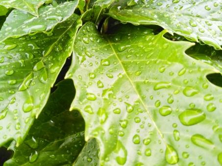 植物 緑 風景 景色 日常 葉 葉っぱ 梅雨 遊歩道 拡大 背景 水滴 ぼかし 光 雨上がり 6月 雫 バックグラウンド 歩道 脇道 壁紙 イメージ 雨 季節 路地 輝く キラキラ 散歩道 雨天 雨露 雨の日 梅雨のイメージ 6月のイメージ