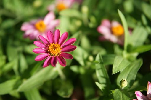赤紫色の花 花 はな 植物 草花 自然 接写 クローズアップ アップ 花びら 茎 葉 ぼかし 園芸 ガーデニング 庭 栽培 自生 野生 開花 満開 鮮やか 華やか 赤 赤紫