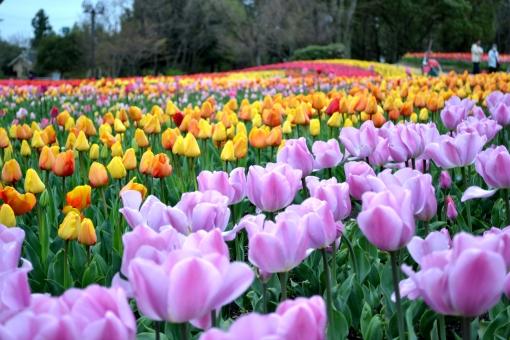 チューリップ 黄色い花 紫花 オランダ 赤い花 一列 いっぱn たくさん オレンジ おれんじ 橙 パープル ぱーぷる 祭り 春 四月 4月
