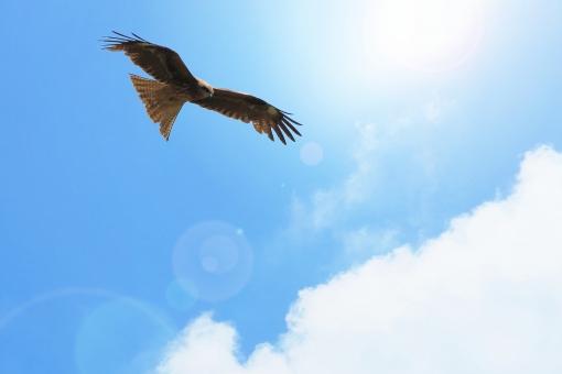 鳥 とんび 鳶 鷹 猛禽類 チャンス 戦略 探す 飛ぶ 羽ばたく 翔 犯罪抑止 恐い 鋭い 監督 かっこいい 犯罪防止 突き止める 追及 偵察 観測 観察 たくましい 強い 力強い 広げる 監視 管理 パワー 空 夏空 青空 暑い 日差し 太陽光 太陽 晴れ 天気 快晴 紫外線 青 ブルー 水色 春 夏 初夏 旋回 フレーム テクスチャ 透明感 合成 バックイメージ 日中 爽快 雲 背景 バックグラウンド グラデーション 鮮やか 自然 生き物 風景 明るい 天空 輝き きらめき 光 ぎらつく ギラギラ ギラつく 寒色 白 気分爽快 さわやか 暑中見舞い はがき 葉書 ハガキ ポストカード 希望 元気 余白 コピースペース テキストスペース 酉年 年賀状 新年 旅立ち メッセージカード