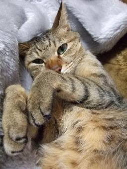 猫 ネコ ねこ 愛猫 猫の手 お化け 1匹 手をそろえる 表情 オバケ 仰向け 寝そべった くつろぐ 毛布 家猫 室内猫 飼い猫 動物 顔 カメラ目線 かわいい お腹 目を開けた 寝転がる 両手 ちゃこ ひげ しま模様 リラックス 昼寝