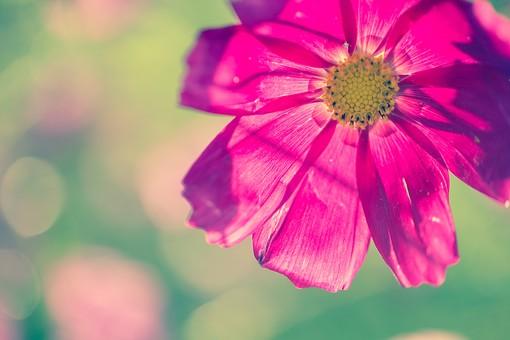 植物 葉っぱ 葉 リーフ  花 花びら 花弁 被子植物 フラワー  自然 ナチュラル ネイチャー  幻想 幻想的 不思議 ファンタスティック ファンタスチック ドリーミー 夢幻 夢幻的 空想 空想的 ファンタジック ぼけ ぼかし ぼやける ピント コスモス オオハルシャギク キク科 アキザクラ 秋桜 7月 8月 9月 10月 乙女の真心 調和 謙虚