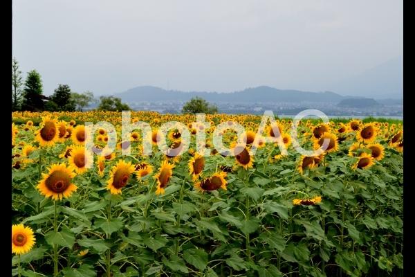 琵琶湖のひまわりの写真