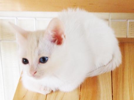 白猫 オッドアイ ネコ ねこ 仔猫 子猫 里子 白 尻尾 しっぽ 青 短毛 猫 kitten kitty cat neko tail