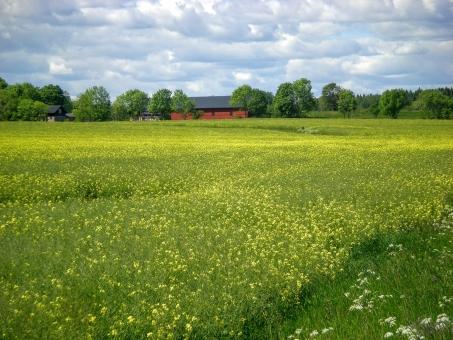 北欧 スウェーデン 風景 田舎 カントリーサイド セイヨウアブラナ 畑 植物 自然 季節 夏 黄色 郊外