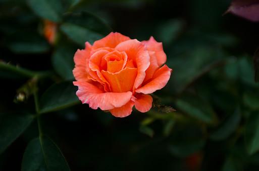 植物 花 バラ 薔薇 ローズ 棘 6月 夏の季語 抱え咲き オレンジ アロマセラピー 鑑賞 園芸 ガーデニング 栽培 庭園 バラ園 自然 アップ 一輪 綺麗 愛 美 上品 愛嬌 新鮮 斬新 無邪気 さわやか