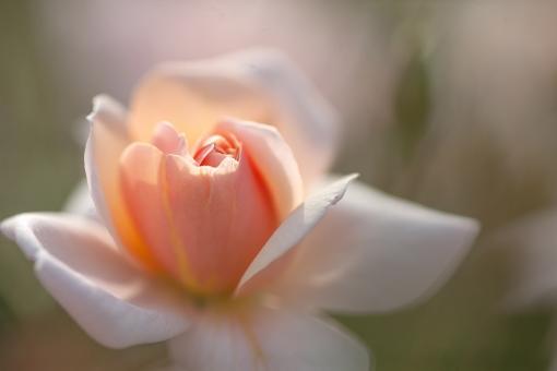 自然 風景 植物 花 ばら 薔薇 春の花 春 新緑 若葉 新芽 初夏 オレンジ色の花 光を浴びて 光透過光 新鮮 爽やかイメージ 季節感 ポストカード 背景 コピースペース バックスペース 森 林 庭 ガーデン 公園 花壇 花畑 植物園 初々しい みずみずしい 野外アウトドア テクスチャー 待ち受け画像 ウェブ