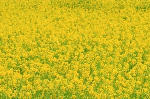菜の花 菜の花畑 花 春 植物 黄色 畑 花畑 明るい たくさん 風景 景色 景観 背景 壁紙 かわいい 可愛い 集団 群生 素朴 可憐 シンプル