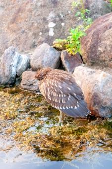 台湾の鳥 スグロミゾゴイの写真