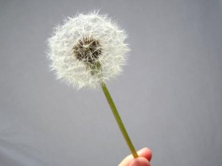 たんぽぽ タンポポ 蒲公英 綿毛 種 種子 春 ふわふわ 旅立ち 丸い 球体 円 植物 自然 飛ぶ 飛行