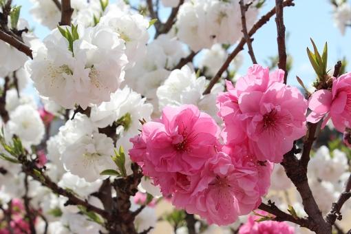 花もも 花桃 桃の花 ピーチ ピンクの花 白い花 福島市 4月に咲く花 3月に咲く花 雛祭り ひな祭り 桃の節句