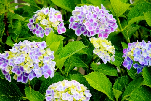 雨 梅雨 6月 雨天 梅雨前線 あじさい 青 紫 青紫 植物 濡れる 濡れている