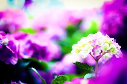 あじさい 紫陽花 夏 紫 綺麗 ボケ ぼかし 風景 スペース 花 植物 露 梅雨 素材 人気 観光 観光地
