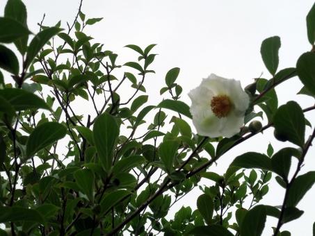 植物 春 植物園 温室 インド 東南アジア 沙羅 釈尊 仏教寺院 入滅 沙羅樹 紗羅双樹 仏教三大聖樹 フタバガキ科 家屋 温暖 建築 用材 カヌー 平家物語 木 樹木 ミャンマーの国花 珍しい