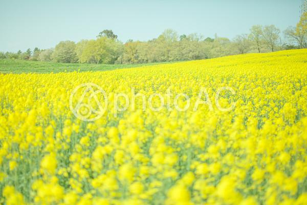 菜の花畑1 No 33294写真素材なら写真ac無料フリー