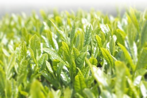 茶 新茶 新緑 芽 新芽 日本茶 緑茶 茶葉 煎茶 八十八夜 緑 greentea green tea 若葉 萌葱色 葉