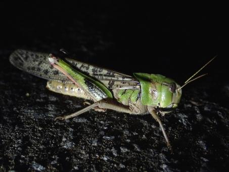 昆虫 むし 虫 ムシ トノサマバッタ 殿様 バッタ