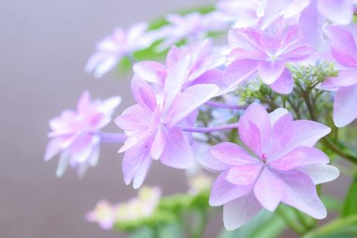 ガクアジサイ がくあじさい 額あじさい 額アジサイ 額紫陽花 あじさい アジサイ 紫陽花 薄紫 ピンク グラデーション 花びら 花 植物 クローズアップ ふんわり 壁紙 コピースペース 文字スペース しっとり 落ち着いた 優しい 雰囲気 綺麗 たくさん いっぱい 淡い あわい 梅雨 春 初夏 5月 6月 7月